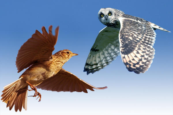 lark owl